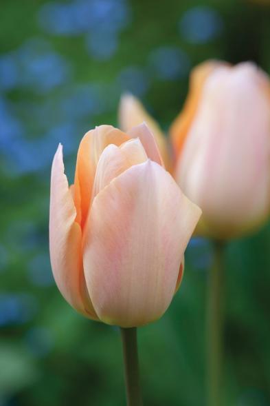 Tulipa 'Apricot Beauty'
