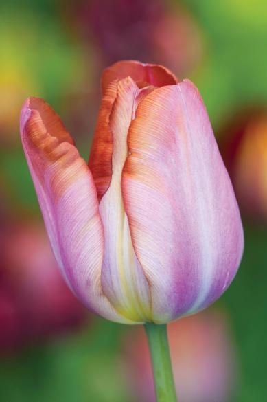 Tulipa 'Bruine Wimpel'